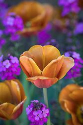 Tulipa 'Brown Sugar' growing with Erysimum 'Bowles's Mauve' AGM syn. Erysimum linifolium glaucum, E. linifolium 'Bowles' Mauve' AGM - Wallflower