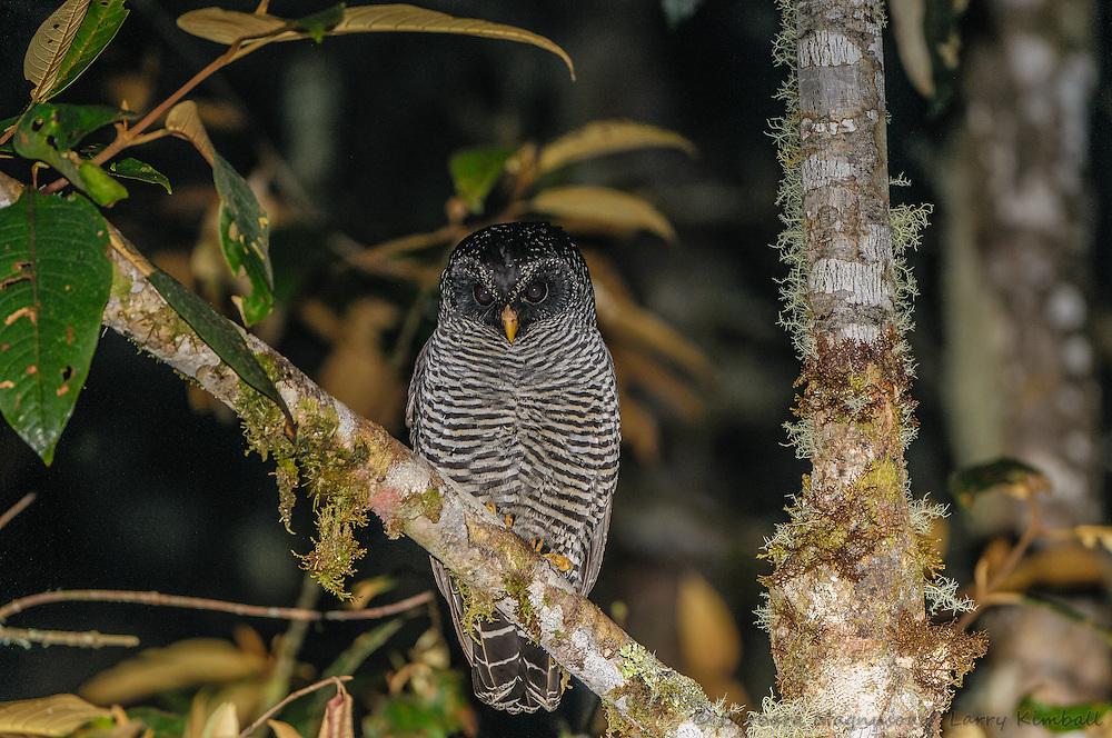 San Isidro Owl [Ciccaba sp. ?] perched; Cabanas San Isidro, Ecuador