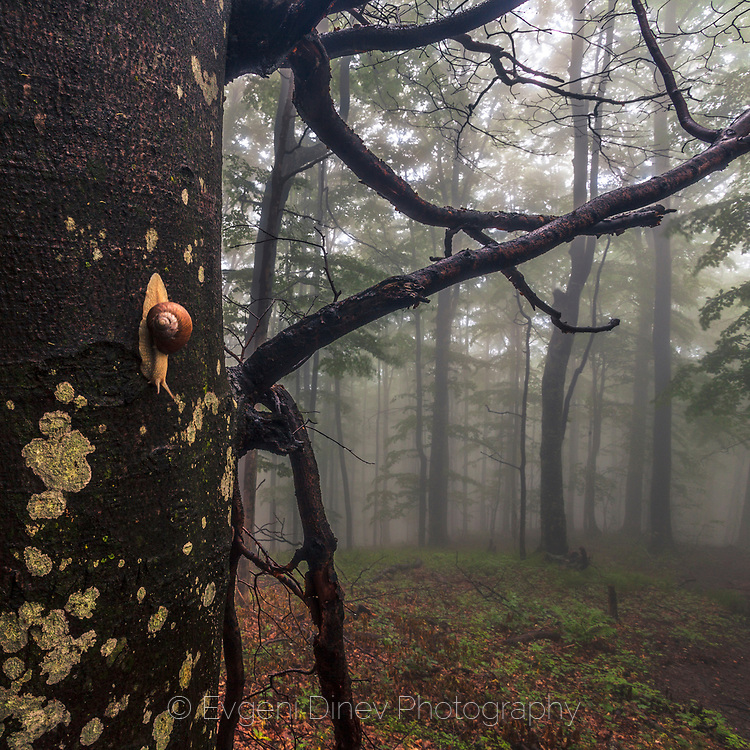 A snail crawling down on a tree in a misty forest