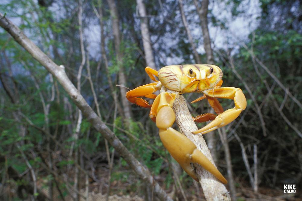 Mangrove Land Crab ( likely to be Cardisoma guanhumi )&amp;#xA;Maria La Gorda , Guanahacabibes UNESCO Biosphere Reserve , Cuba ( Caribbean aquatic terrestrial colorful ) &amp;#xA;&copy; Kike Calvo-V&amp;W<br />