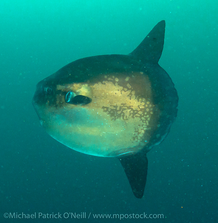A Southern Sunfish, Mola ramsayi, makes a rare appearance in the Galapagos Islands, Ecuador. One of the largest bony fish in the ocean, it feeds almost exclusively on jellyfish.