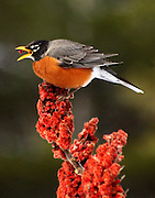 MALE ROBIN FEEDING ON SUMAC SEEDS,  E DORSET,VT