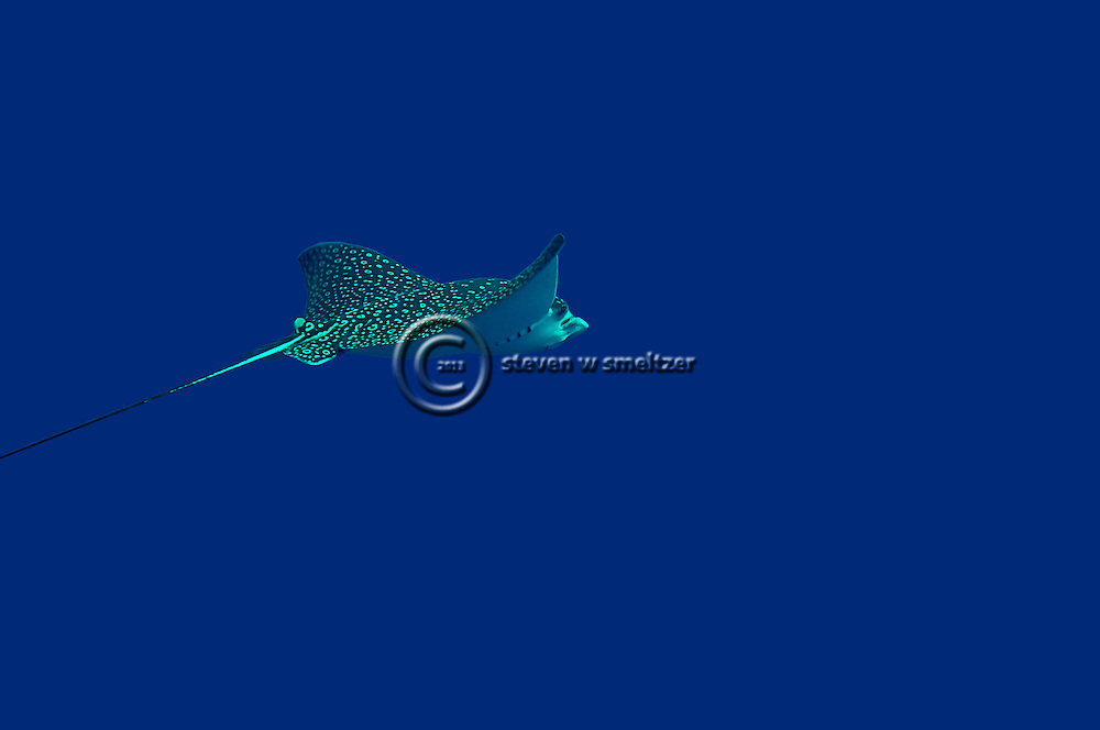 Spotted Eagle Ray, Aetobatus narinari, (Euphrasen, 1790), Grand Cayman