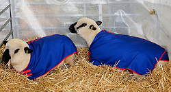 © Licensed to London News Pictures.14/07/15<br /> Harrogate, UK. <br /> <br /> Two sheep lie in their pen on the opening day of the Great Yorkshire Show.  <br /> <br /> England's premier agricultural show opened it's gates today for the start of three days of showcasing the best in British farming and the countryside.<br /> <br /> The event, which attracts over 130,000 visitors each year displays the cream of the country's livestock and offers numerous displays and events giving the chance for visitors to see many different countryside activities.<br /> <br /> Photo credit : Ian Forsyth/LNP