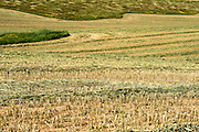 Desert agriculture. Harvested wheat field in the Negev Desert, Israel