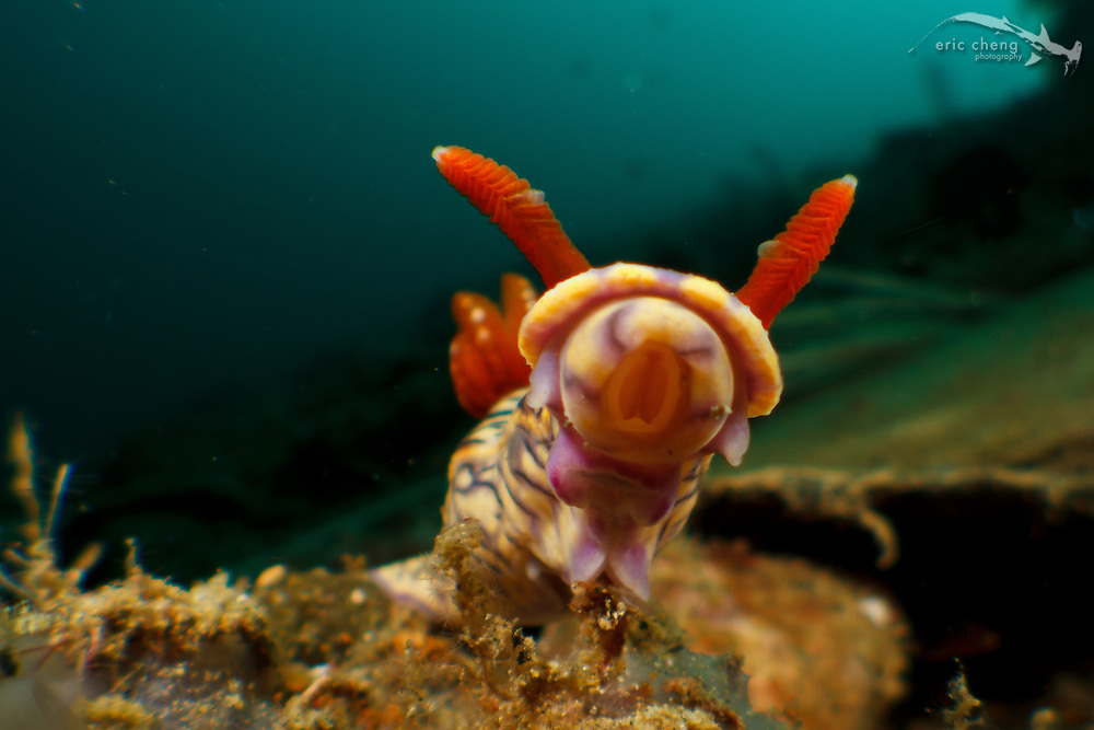 A nudibranch rears up. Ambon, Maluku, Indonesia.