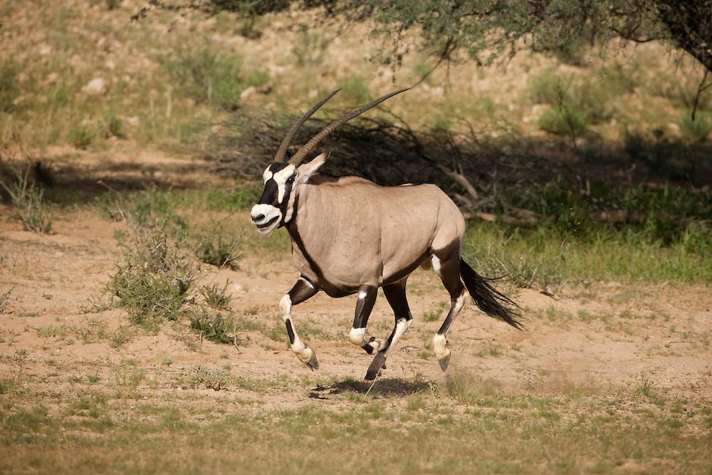 South Africa, Kgalagadi Transfrontier Park, Gemsbok (Oryx gazella) running along dry riverbed in Kalahari Desert