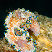 Glossodoris cincta nudibranch in Lembeh Straits, Indonesia.