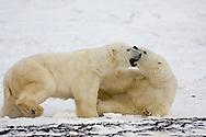 01874-11305 Polar Bears (Ursus maritimus) sparring, Churchill Wildlife Management Area MB