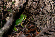 A Pacific Chorus Frog or Pacific Tree Frog (Pseudacris regilla) on Shaw Island, San Juan Islands, Washington.
