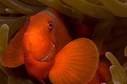 Spinycheek Anemonefish (Premnas biaculeatus) in a sea anemone in Komodo Island, Indonesia.