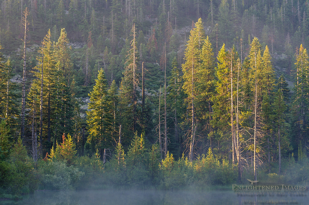 Trees in morning light near Sardine Lakes, Tahoe National Forest, Sierra County, California