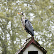 A Heron standing on top on a roof at St James park and a lovely weather on 23 April 2019, London, UK.