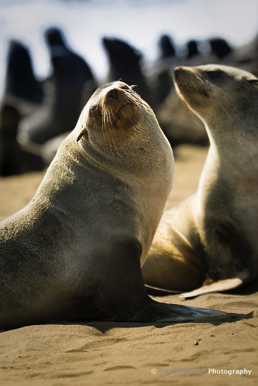 African Cape Fur Seals at Cape Cross Reserve, Namibia