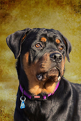 The Rottweiler is a medium to large size breed of domestic dog. The dogs were known as Rottweil butchers' dogs because they were used to herd livestock and pull carts laden with butchered meat and other products to market