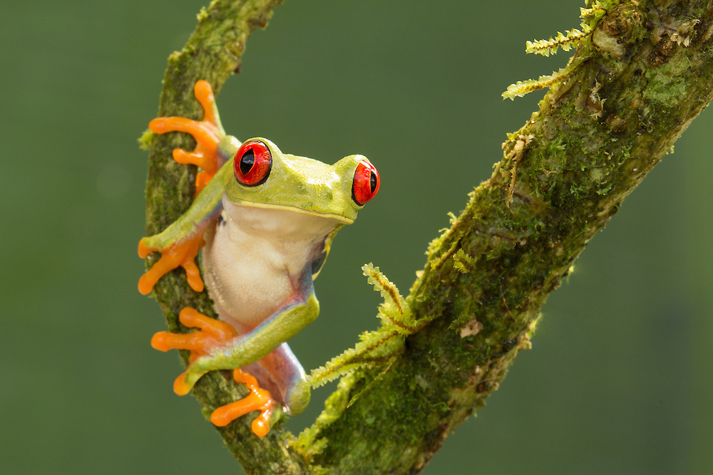 Red-Eyed Tree Frog<br />