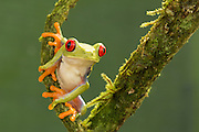 Red-Eyed Tree Frog<br /> <br /> Available sizes:<br /> 12&quot; x 18&quot; print <br /> <br /> See Pricing page for more information Also available as a mousepad or greeting cards.