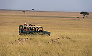 Cheetahs and game drive tourists in Maasai Mara, Kenya.