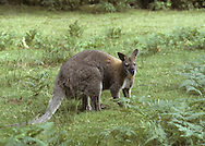 Bennett's Wallaby Macropus rufogriseus Height to 90cm Tasmanian subspecies of Red-necked Wallaby, which is widespread in western Australia. Introduced and naturalised elsewhere, eg Peak District, England.