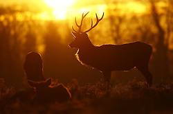 © Licensed to London News Pictures. 19/01/2017. London, UK. Deer are seen at first light in Bushy Park. Temperatures are not expected to rise above 1 degree in parts of the south east today. Photo credit: Peter Macdiarmid/LNP