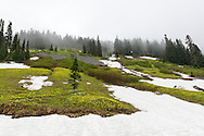 Avalanche Lilies (Erythronium montanum) growing on the slopes of Mazama Ridge at Paradise Valley in Mount Rainier National Park, Washington State, USA