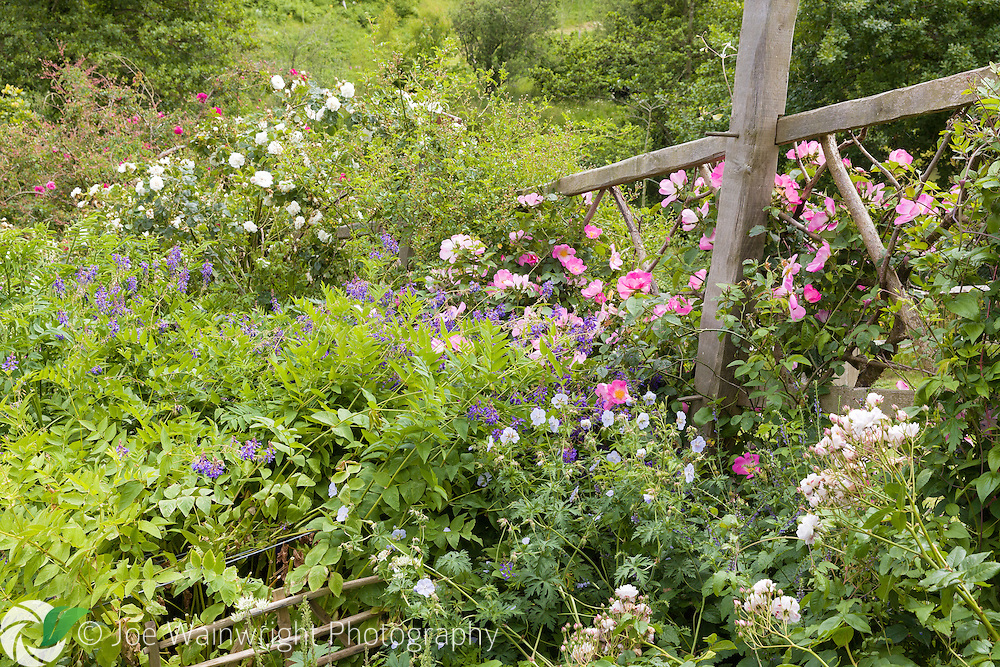 Climbing roses clamber across a wooden trellis and combine with Geraniums, in Judith Queree's Garden, St Ouen, jersey.  Photographed in June