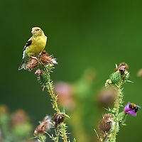 American Goldfinch on a Thistle. Sourland Mountain Preserve, Summer Nature in New Jersey. Image taken with a Nikon D3s and 300 mm f/2.8 VR lens + TC-E III 20 teleconverter (ISO 250, 600 mm, f/5.6, 1/500 sec). Raw image processed with Capture One Pro 6, Nik Define, and Photoshop CS5.