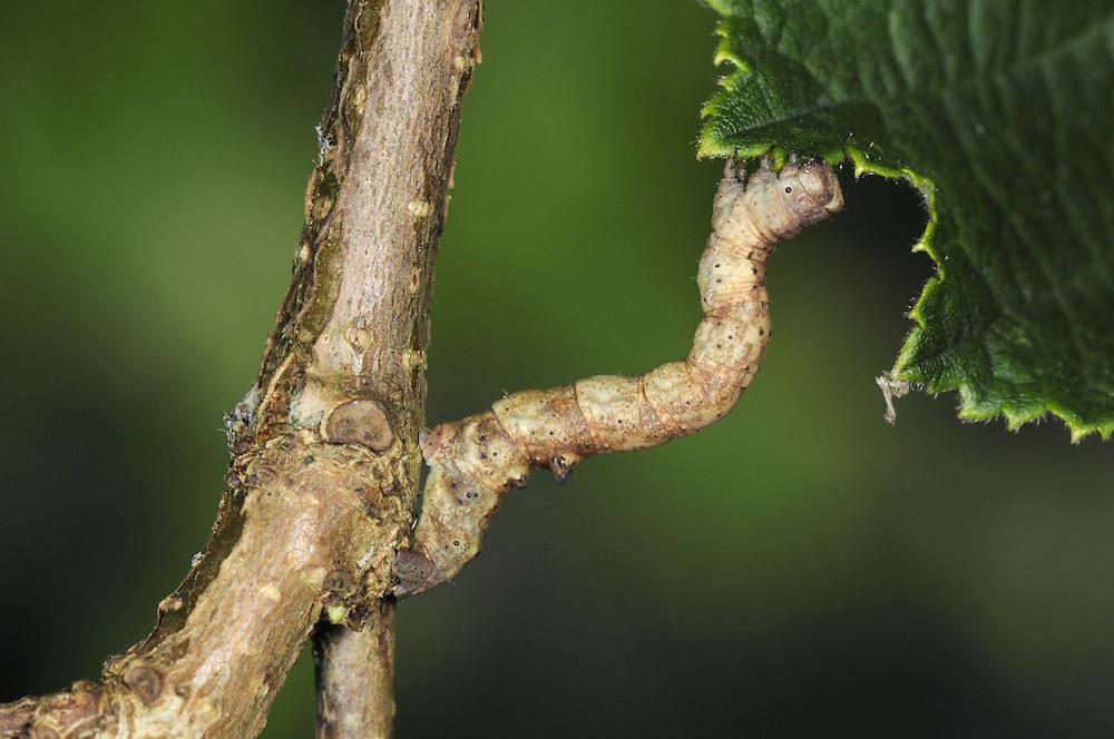 Barred Umber - Plagodis pulveraria
