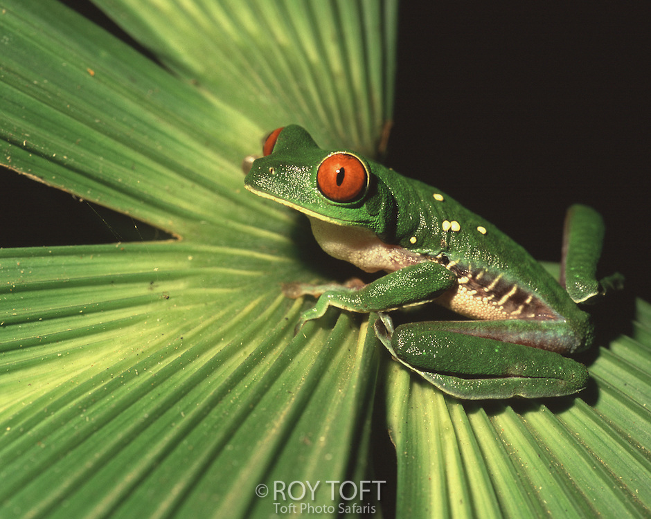 Portrait of a red-eyed Tree Frog (Agalychnis callidryas) resting on a palm leaf, Costa Rica.