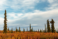 Fall colors contrast with the clouds and sunset sky near Paxson Lake in Interior Alaska. Evening.
