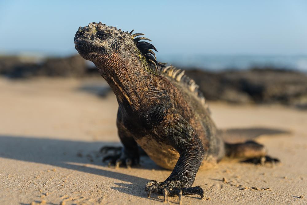 Marine iguana walking on the beach, San Cristobal, Galapagos, Ecuador.