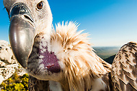 Cape Vulture portrait, De Hoop Nature Reserve, Western Cape, South Africa