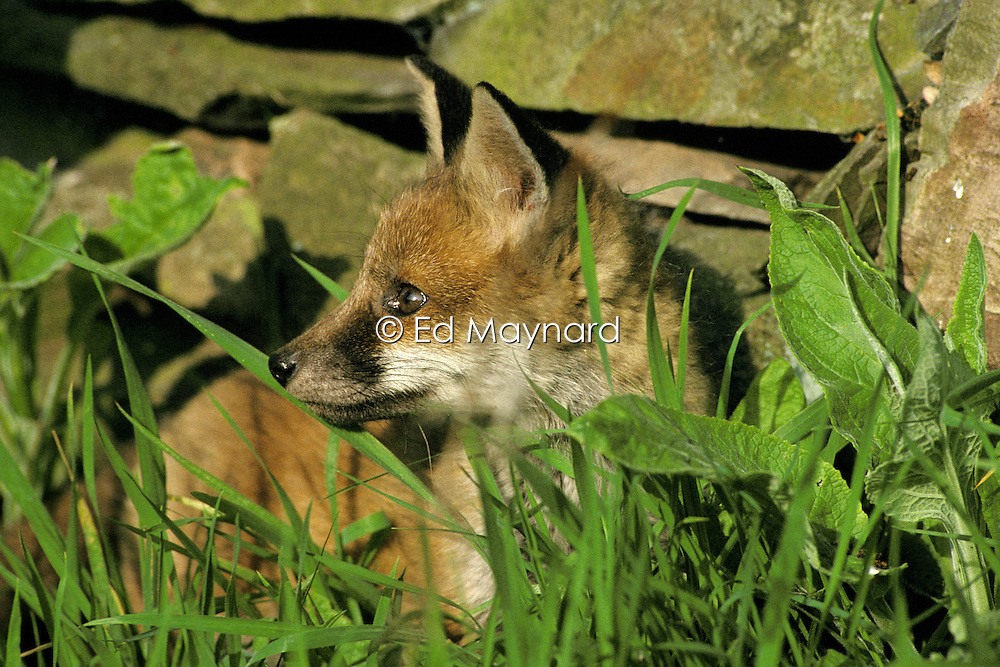 Red fox cub (vulpes vulpes) in long grass, Loughborough, Leicestershire, England, UK.