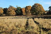 Autumn colours trees in countryside, Sutton, Suffolk Sandlings heathland, England, UK
