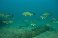 Large School of Smallmouth Bass<br /> <br /> Christopher Morey/Engbretson Underwater Photography