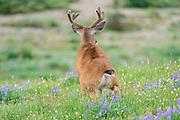 Black-tailed Deer Buck (Odocoileus hemionus columbianus), Pacific Northwest