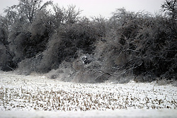 01 December 2006: Trees and brush aside a barren corn field dip to the ground under the weight of ice from a sharp winter storm that swept into Central Illinois and the Bloomington-Normal area causing power outages, road closures, white out conditions, tree damage, and virtually every large business and schools to close.<br />