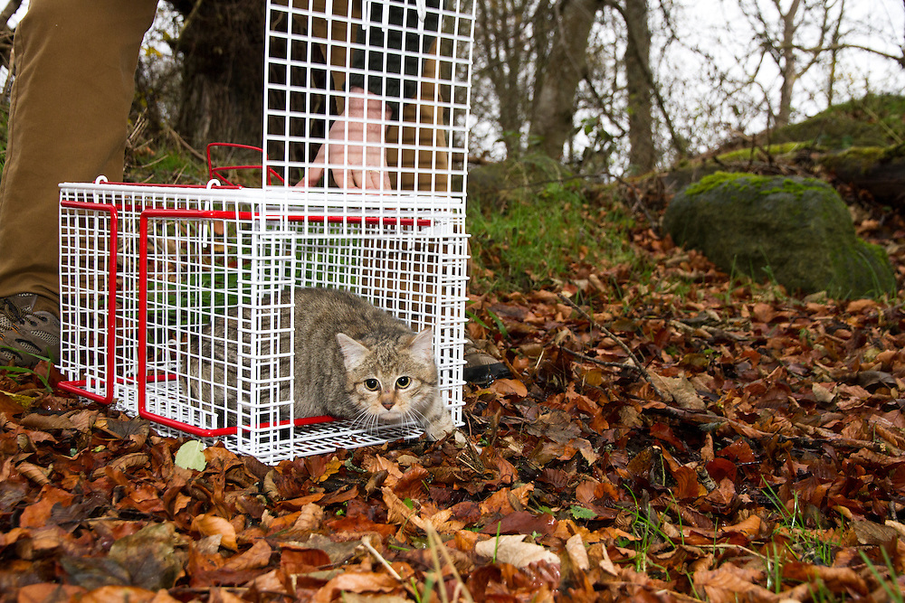 A young hybrid wildcat is released back into the wild after being neutered by vets.