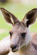 Antilopine Wallaroo, Queensland, Australia