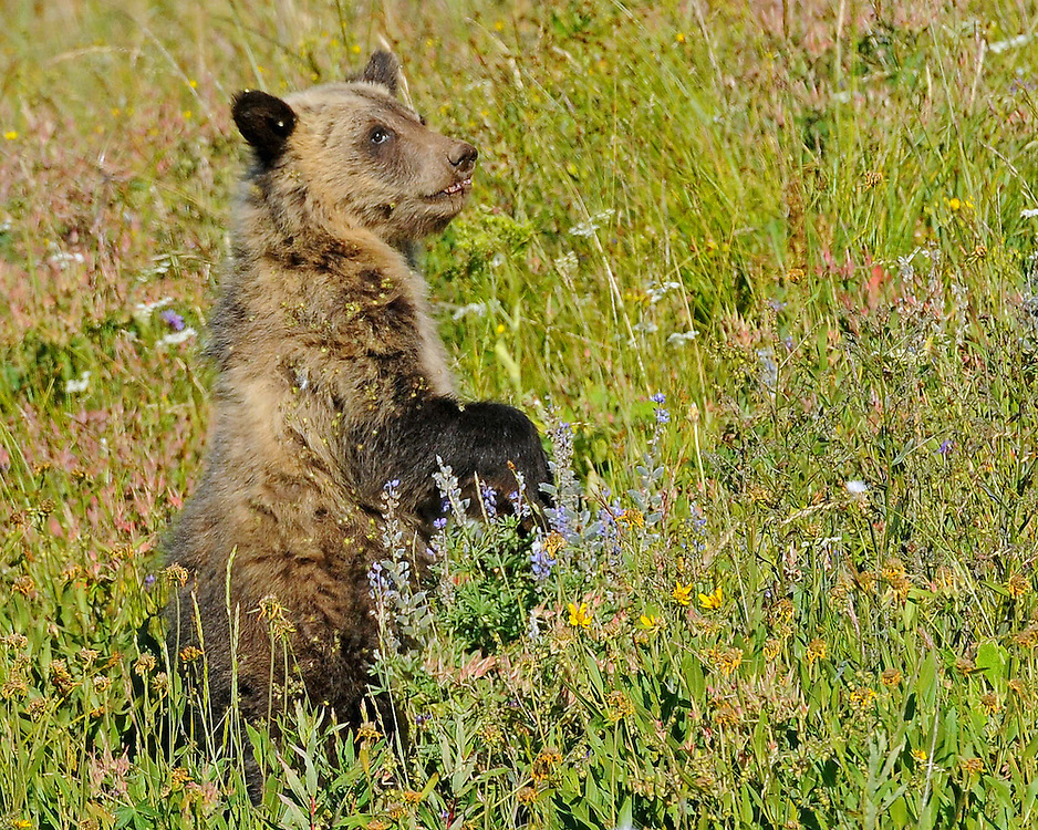 Although still nursing, this young grizzly cub also enjoys the abundant vegetation of the summer months in Yellowstone Park. Some favorites include; biscuitroot, cow parsnip, clover, and horsetail.