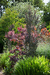Two pillars of Cercidiphyllum japonicum 'Rotfuchs' syn. C.j. 'Red Fox' - Katsura tree -  with Cotinus coggygria Purpureus Group in flower. Smoke bush