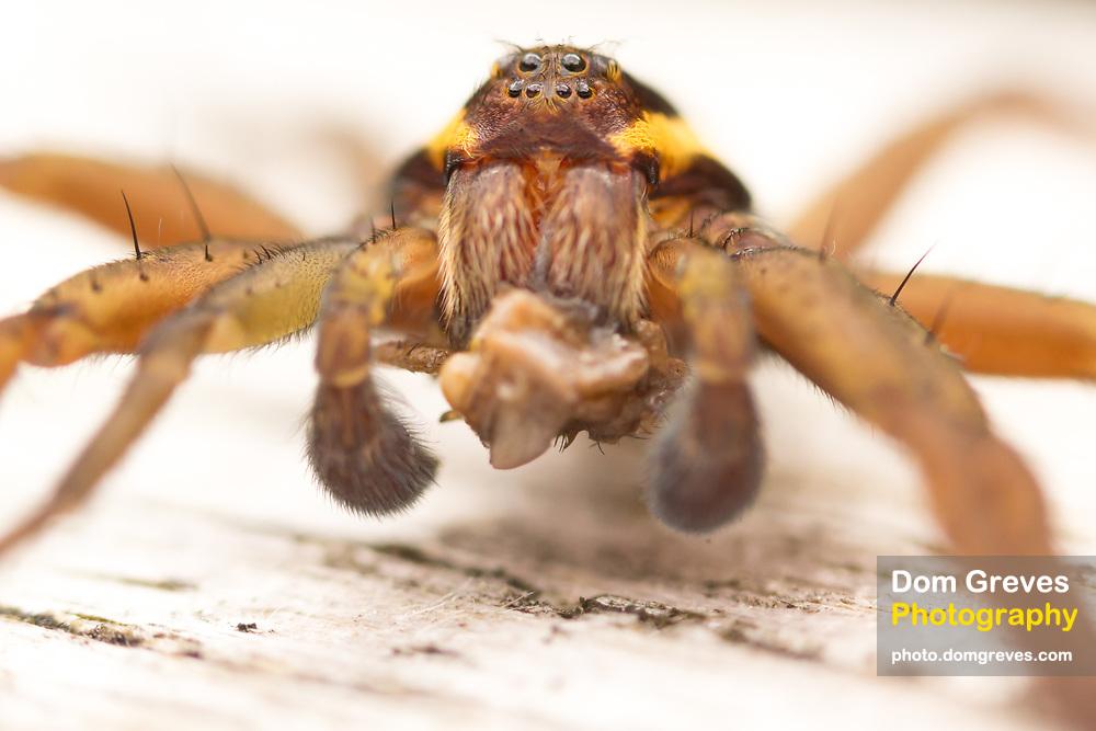 Raft spider male (Dolomedes fimbriatus) consuming prey. Chobham Common, Surrey, UK.