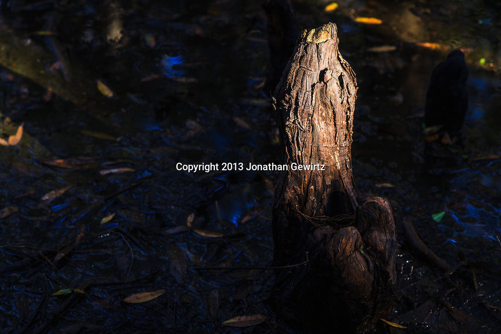 A sunlit cypress knee protrudes from the stream bed of Fisheating Creek in Florida's Fisheating Creek Wildlife Management Area (WMA). WATERMARKS WILL NOT APPEAR ON PRINTS OR LICENSED IMAGES.
