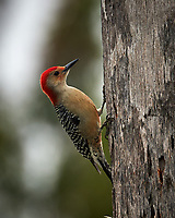 Red-bellied Woodpecker. Winter Nature in Florida. Image taken with a Nikon D4 camera and 80-400 mm VRII telephoto zoom lens (ISO 560, 400 mm, f/5.6, 1/400 sec).