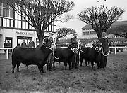 05/02/1957<br /> 02/05/1957<br /> 05 February 1957<br /> R.D.S. Bull show first day, in Ballsbridge, Dublin. Three prize winning bulls pose for the camera.