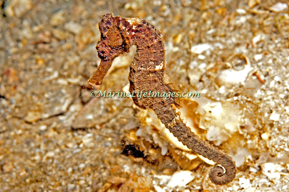 Longsnout Seahorse inhabit areas of sand and rubble attaching to gorgonians, seagrass and other holdfasts in Tropical West Atlantic; picture taken Blue Heron Bridge, Palm Beach, FL.