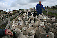 Keith Alazia, 35, looks on and his dog helps to round up sheep in Goose Green, in the Falkland Islands, on Friday, March 23, 2007. This year is the 25 anniversary of the war for sovereignty of the islands between the United Kingdom and Argentina. The two-month war resulted in the withdrawal of Argentinean forces and the islands remained part of the United Kingdom. After the war on the islands there has been strong economic development. (Photo/Scott Dalton)