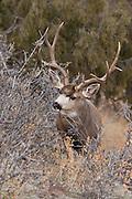 Mule deer (Odocoileus hemionus)buck on steep mountain in thick brush