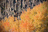 Aspens in fall color set against basalt rock.