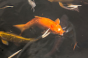 Japanese koi fish are specifically bred for both coloration and form. Koi are a group of fish that are ornamental varieties of domesticated common carp (Cyprinus carpio) that are kept for decorative purposes in outdoor koi ponds or water gardens. Photographed in Florida.